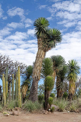 Photograph - Columnar Cacti And Yucca Trees by Rob Huntley
