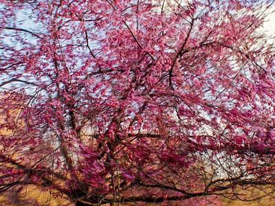 Photograph - Columnar Sargent Cherry 1 by Bernhart Hochleitner