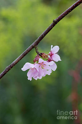 Photograph - Columnar Sargent Cherry Blossom by Tim Gainey