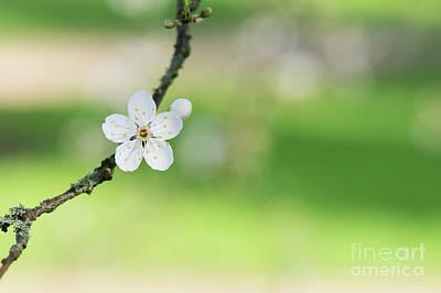Fruit Tree Art Photograph - Cherry Plum Blossom by Tim Gainey