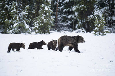 Photograph - Come Along - Grizzly Family by Sandra Bronstein