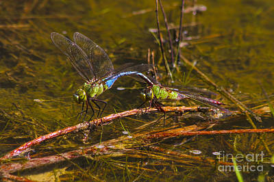 Photograph - Come Along With Me Dragonflies by Reid Callaway