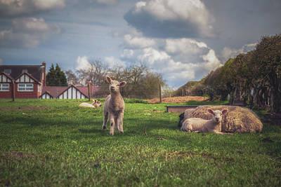 Lamb Photograph - Come On Then by Chris Fletcher