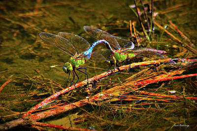 Dragonflies Mating Photograph - Come With Me Dragonfly Reproduction Art by Reid Callaway