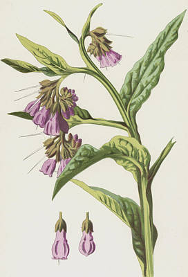 Botanical Drawing - Comfrey by Frederick Edward Hulme