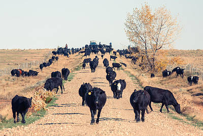 Angus Steer Photograph - Coming Down The Road by Todd Klassy