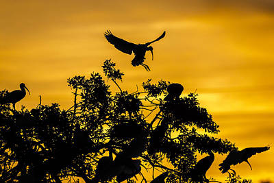 Ibis Wall Art - Photograph - Coming Home by Mike Lang