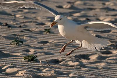 Photograph - Coming In For A Landing - Jersey Shore by Angie Tirado