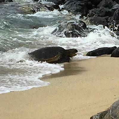 Photograph - Coming In For A Rest. #honu #mauihawaii by Darice Machel McGuire