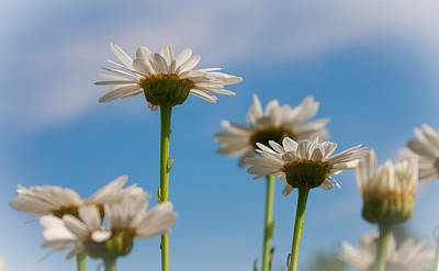 Art Print featuring the photograph Coming Up Daisies by Christina Lihani