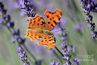 Photograph - Comma Butterfly On Lavender by Julia Gavin