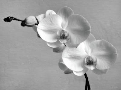 White Orchid Photograph - Commitment by Wim Lanclus