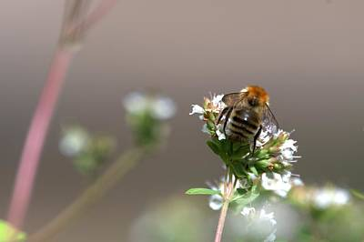 Photograph - Common Bee by Chris Day