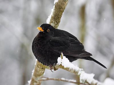 Photograph - Common Blackbird 6 by Jouko Lehto