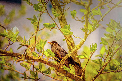 Gardena Photograph - Common Blackbird May 2016 by Leif Sohlman