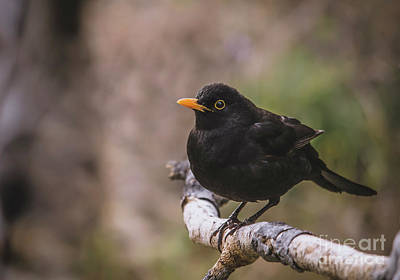 Photograph - Common Blackbird  by Perry Van Munster