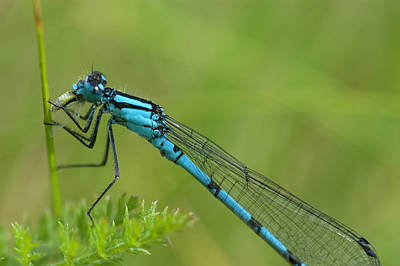 Photograph - Common Blue Damselfly by Kris Mercer