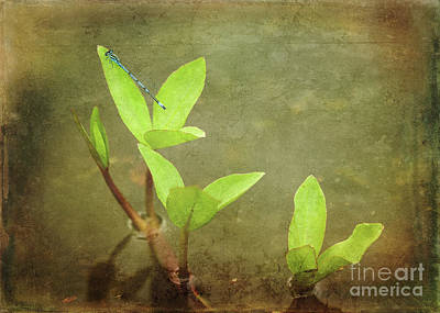 Photograph - Common Blue Damselfly by Liz Alderdice