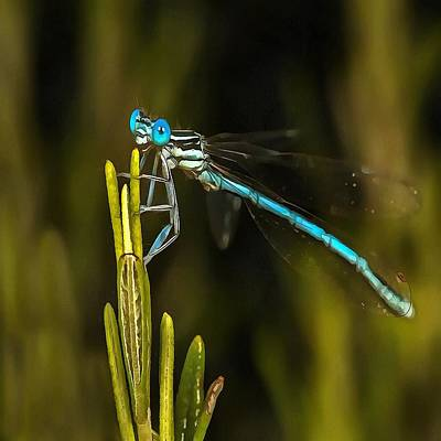 Painting - Common Blue Damselfly by Taiche Acrylic Art