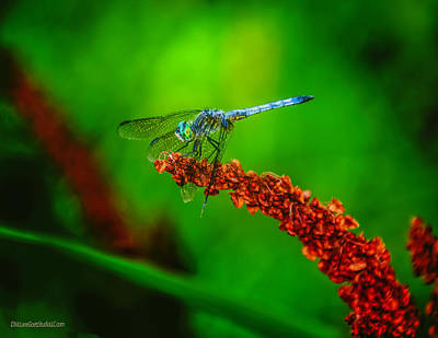 Photograph - Common Blue Darner Dragon Fly by LeeAnn McLaneGoetz McLaneGoetzStudioLLCcom