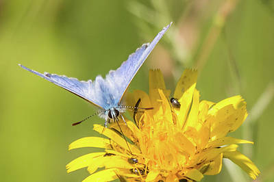 Photograph - Common Blue by Wendy Cooper