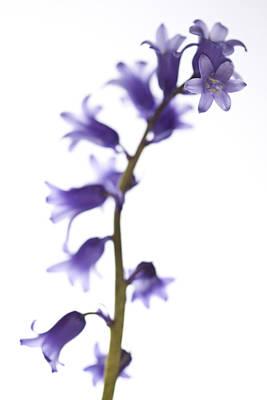 Common Bluebell Hyacinthoides Non-scripta Original