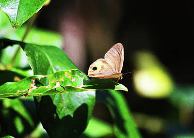 Photograph - Common Brown Butterfly by Miroslava Jurcik