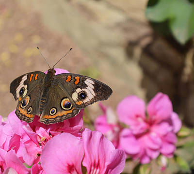 Photograph - Common Buckeye Butterfly by Aimee L Maher Photography and Art Visit ALMGallerydotcom