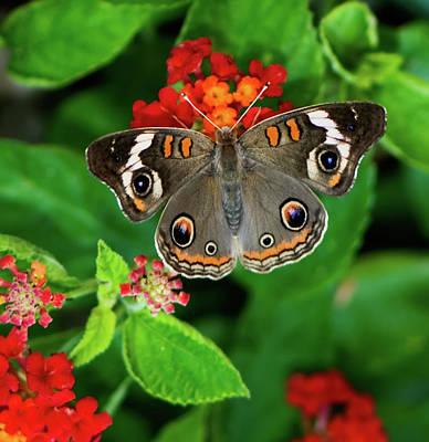 Buckeye Butterfly Photograph - Common Buckeye Butterfly by Betty LaRue