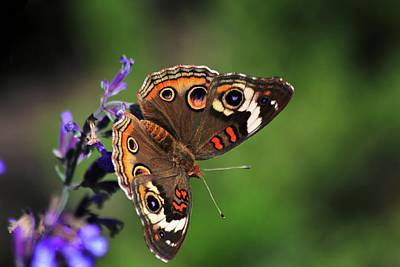 Photograph - Common Buckeye Butterfly by Carol Montoya