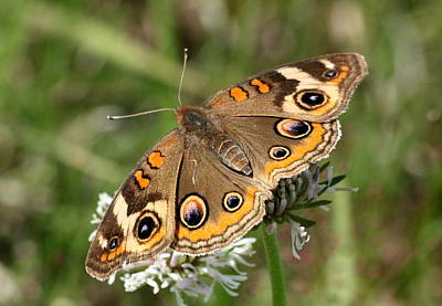 Photograph - Common Buckeye Butterfly Close-up by Sheila Brown