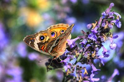 Photograph - Common Buckeye Butterfly II by Carol Montoya