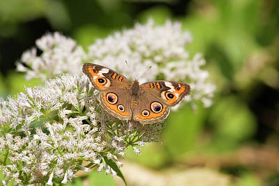 Photograph - Common Buckeye Butterfly by Jill Lang