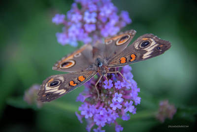 Photograph - Common Buckeye Butterfly by LeeAnn McLaneGoetz McLaneGoetzStudioLLCcom