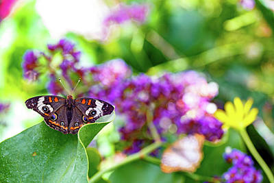 Photograph - Common Buckeye Butterfly On Leaf by Susan Schmitz