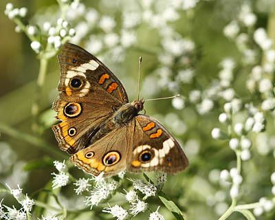 Common Buckeye Butterfly On White Thoroughwort Wildflowers Print by Kathy Clark