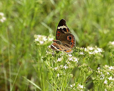 Photograph - Common Buckeye Butterfly by Sheila Brown