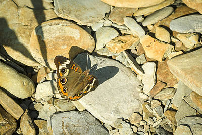 Photograph - Common Buckeye by Jack R Perry