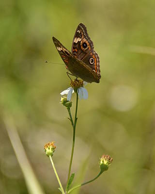 Photograph - Common Buckeye On Jungle Trail by Carol Bradley