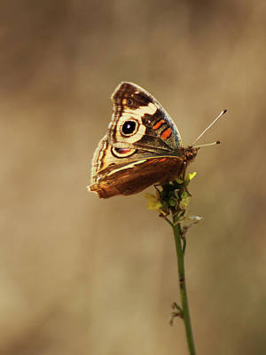 Photograph - Common Buckeye by Richard Stephen