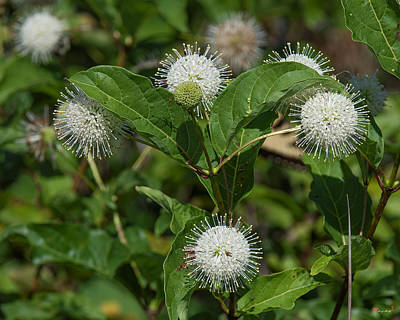Photograph - Common Buttonbush Dsmf0286 by Gerry Gantt
