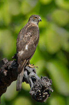 Buzzard Wall Art - Photograph - Common Buzzard Buteo Buteo, Bandhavgarh by Panoramic Images