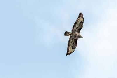 Photograph - Common Buzzard by Darren Wilkes