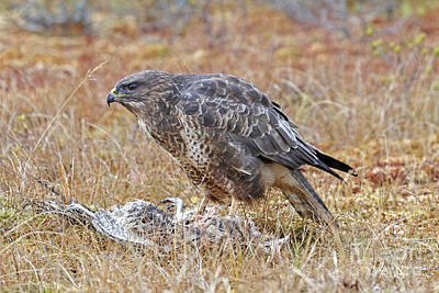 Buzzard Photograph - Common Buzzard by Desmond Dugan/FLPA