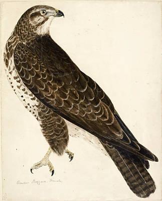 Buzzard Drawing - Common Buzzard, Female by Prideaux John Selby