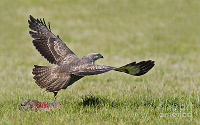 Buzzard Photograph - Common Buzzard by Gianpiero Ferrari/FLPA