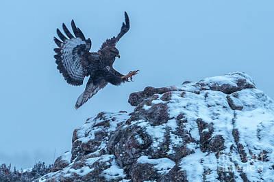Photograph - Common Buzzard by Hernan Bua