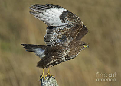 Islay Photograph - Common Buzzard by Michael Durham/FLPA