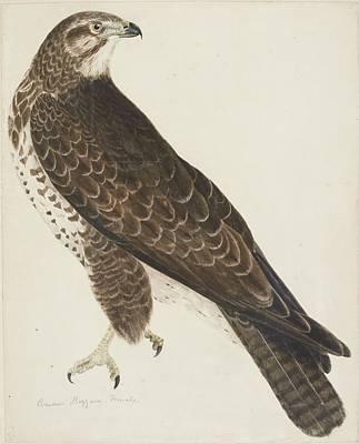 Buzzard Painting - Common Buzzard by Prideaux John