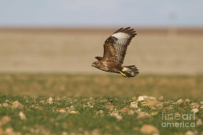 Buzzard Photograph - Common Buzzard by Roger Tidman/FLPA